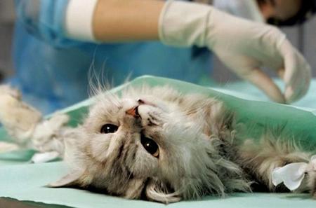 Стерилизация кошки. До и после.